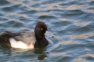 Greater Scaup 15