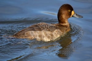 Greater Scaup 58