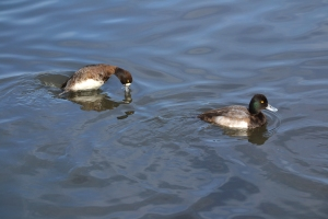 Greater Scaup  [diving] 08