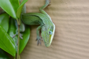 Green Anole  01
