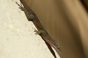 Green Anole - Female 03