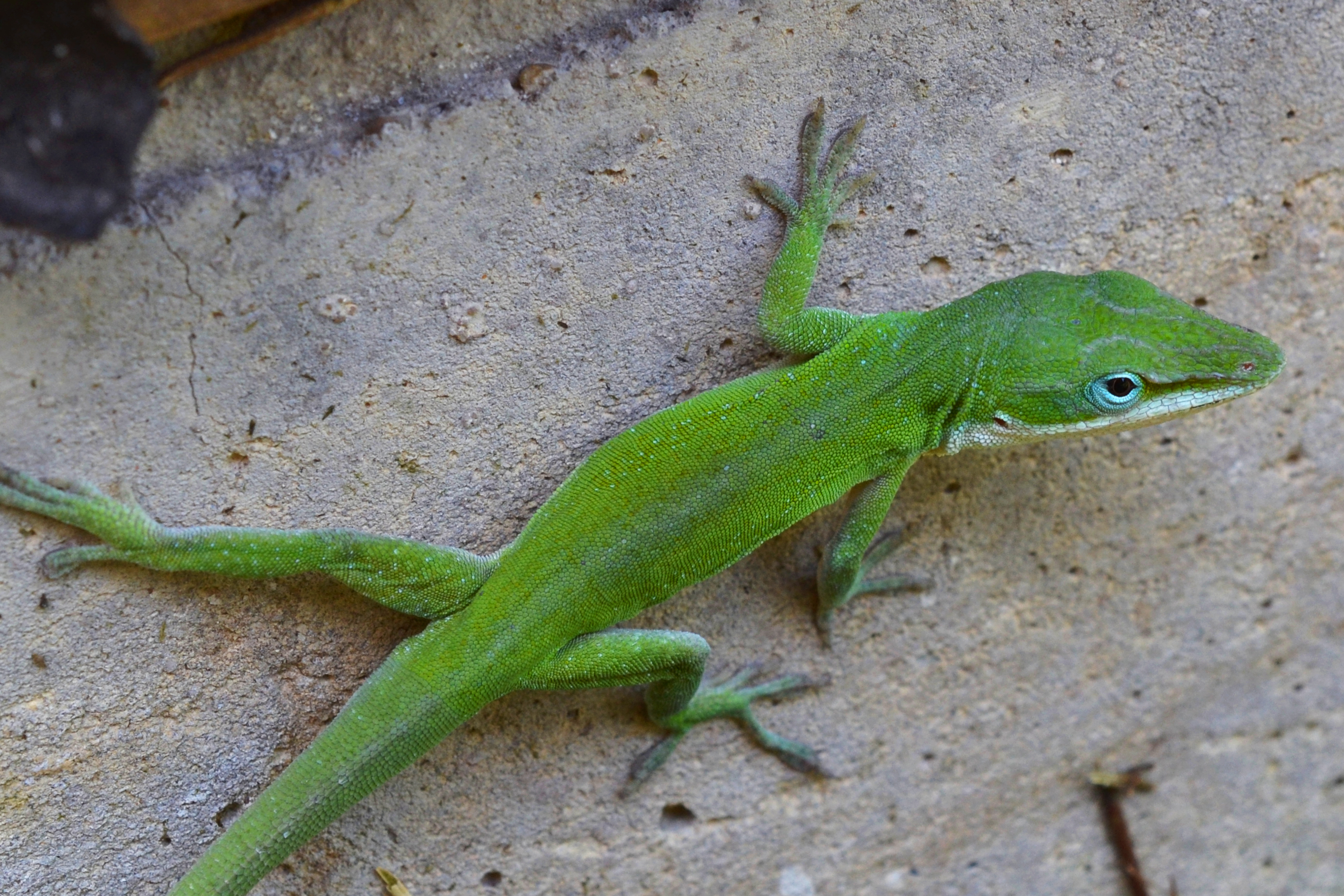 Green anole vs brown anole - photo#10