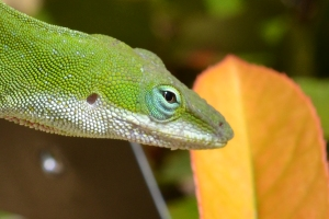 Green Anole - Male 07