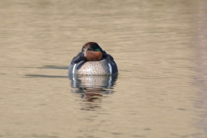 Green Winged Teal- Male 08