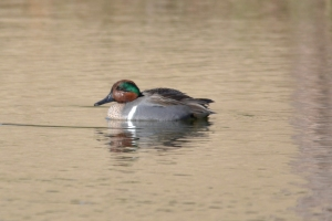 Green Winged Teal- Male 09
