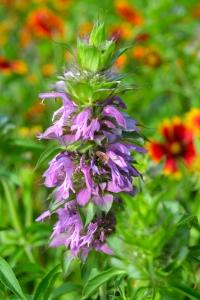 Horsemint  Flower 02