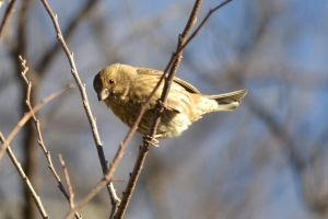 House Finch 01 (2)