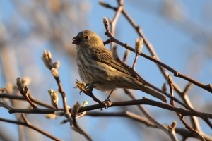 House Finch  02