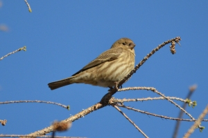 House Finch 05