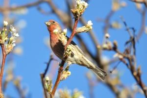 House Finch - Male  03
