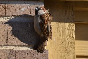 House Sparrow 01 (2)