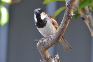 House Sparrow 01
