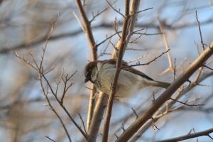 House Sparrow  09