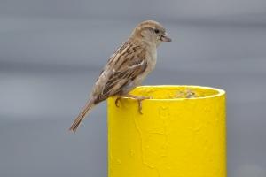 House Sparrow01