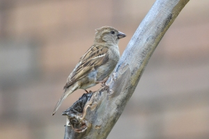 House Sparrow03