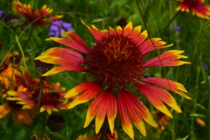 Indian Blanket Flower 01