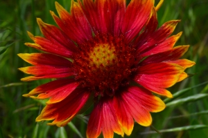 Indian Blanket Flower 02