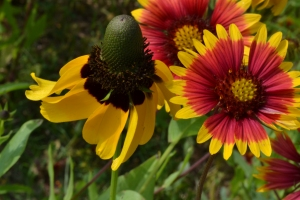 Indian Blanket Flower 10