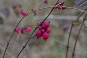 Indian Coralberry 01