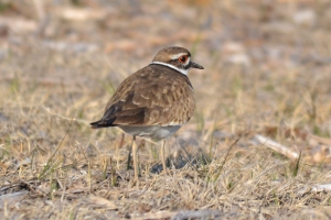 Killdeer 03