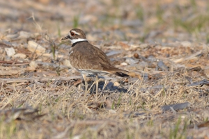Killdeer 06
