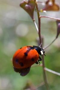 Lady Bug 03