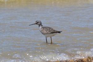 Lesser Yellowlegs 07
