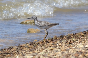 Lesser Yellowlegs 08
