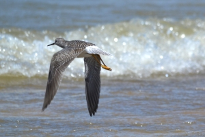 Lesser Yellowlegs 09