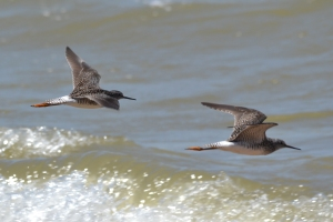 Lesser Yellowlegs 11