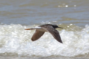 Lesser Yellowlegs 12
