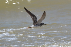 Lesser Yellowlegs 13