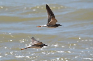 Lesser Yellowlegs 14
