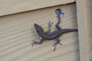 Lizard [on wall] 01