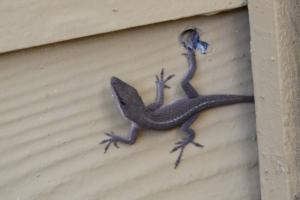 Lizard [on wall] 01