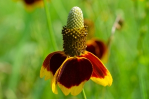 Mexican Hat Flower 01