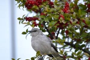 Mockingbird [in berry tree] 01