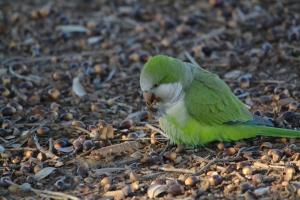 Monk Parakeet 72
