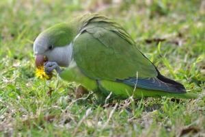 Monk Parakeet 89
