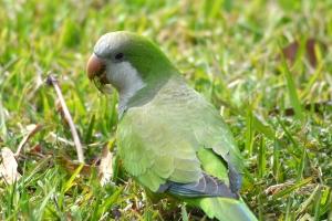 Monk Parakeet 90