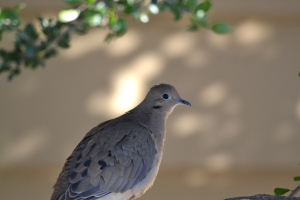 Mourning Dove 01 (3)