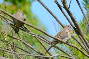 Mourning Dove 01