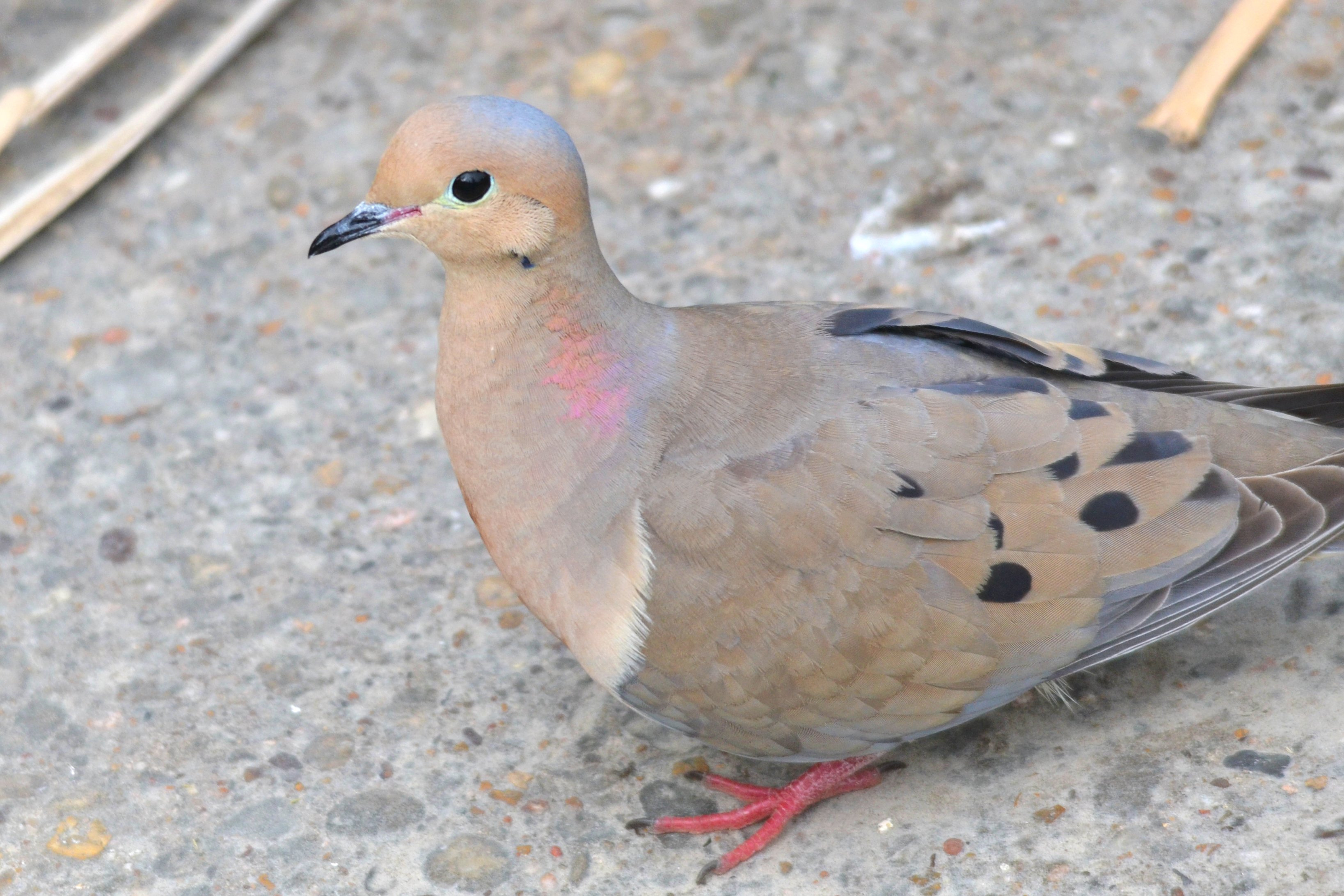 how to clean a mourning dove