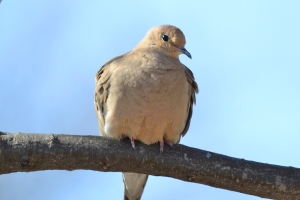 Mourning Dove 02