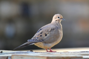 Mourning Dove 03