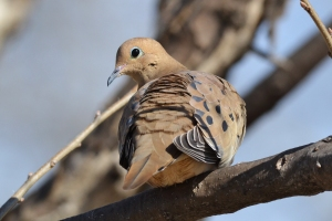 Mourning Dove 06