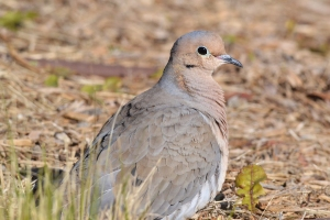 Mourning Dove 07