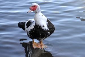 Muscovy Duck 05