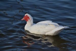 Muscovy Duck 07