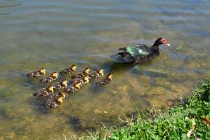 Muscovy Duck 66